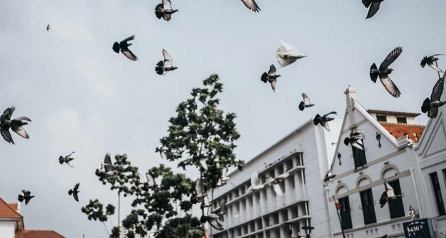 burung dara kota tua